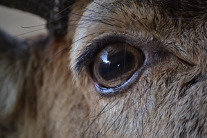 Red deer eye, Dumfries and Galloway