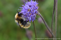 Great Yellow bumblebee by Izzy Bunting