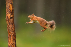 Red squirrel leaping towards a treetrunk